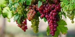 Druiven eten verzacht symptomen van knieartrose